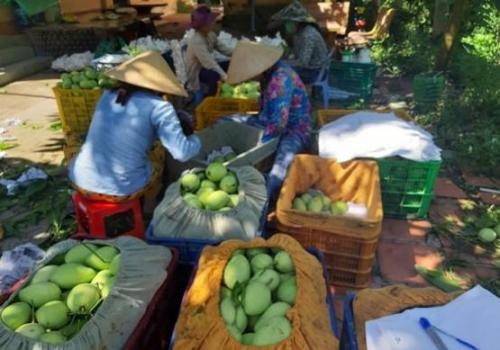 Collector packing fruit at farm
